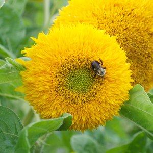 Teddy Sunflower