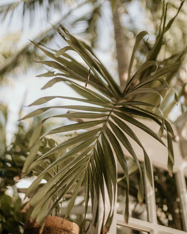 Lust for leaves that remind me of childhood summers spent in my grandmothers garden in Lahore imagining the world I was eager to see.  #milesfromTulum #milesfrommexico