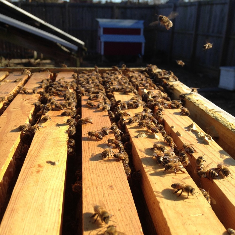 Honey bees and laying hens are kept on the farm. Urban Buzz honey is unique blend seasonal nectar and pollen and is available for sale.