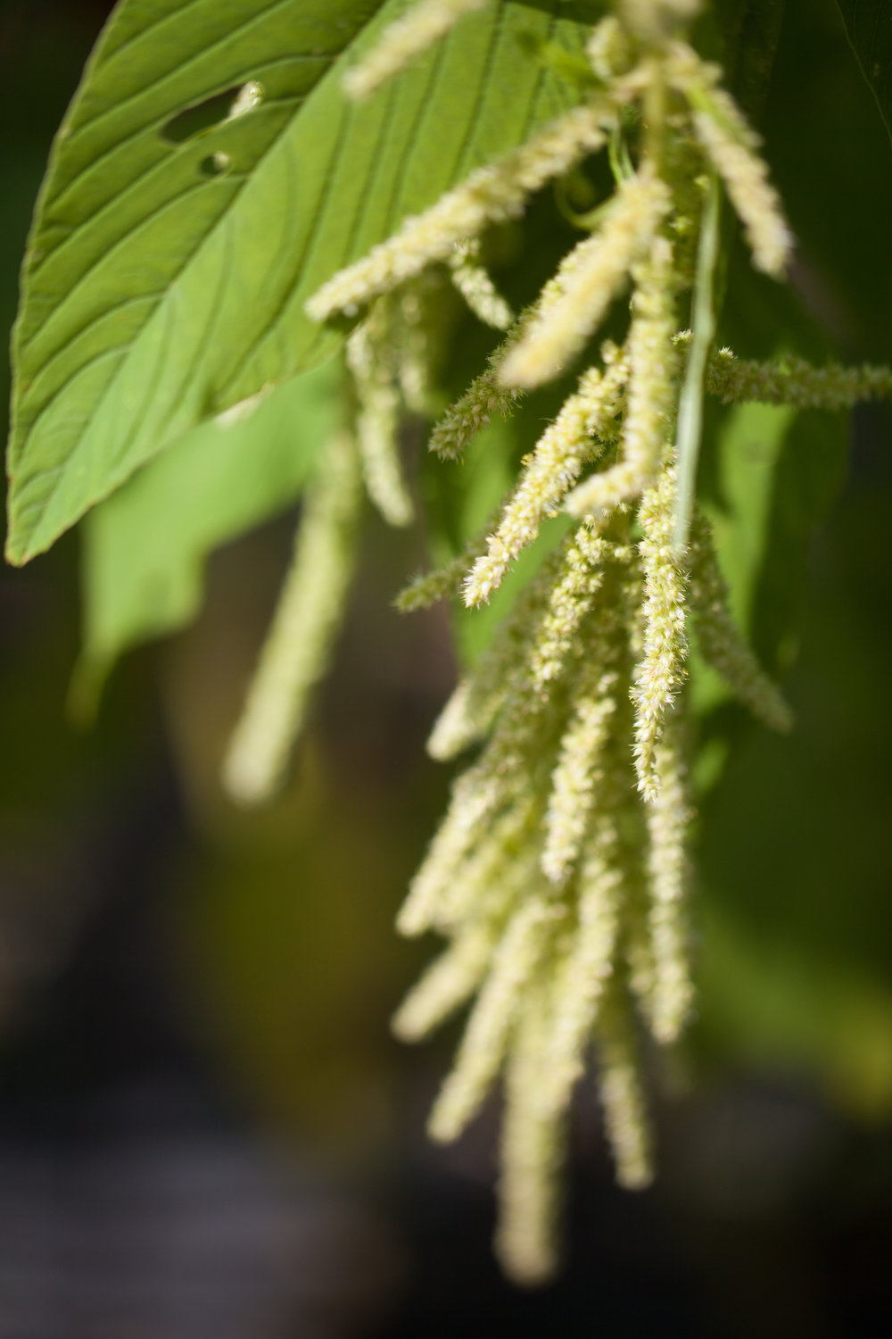 Green tassle amaranth