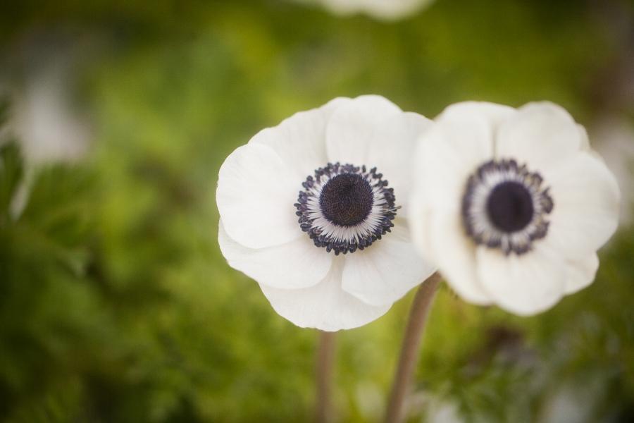 """Panda Eye"" Anemone"