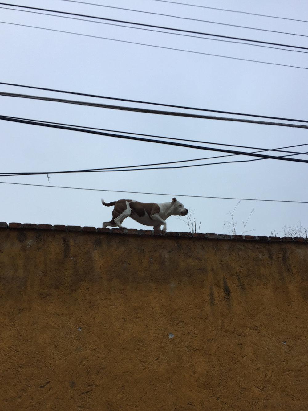 Roof dog walking its territory