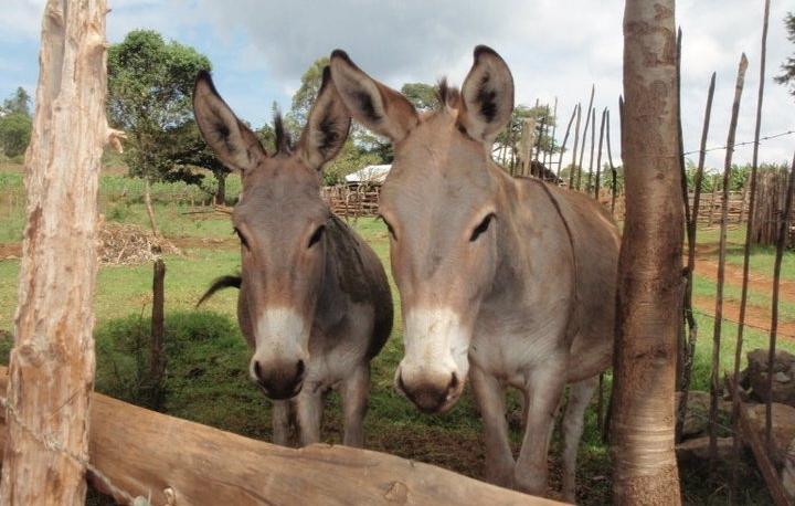 Donkeys in Kenya.jpg
