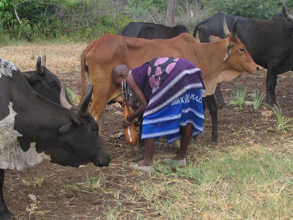 Maasai Milking.jpeg