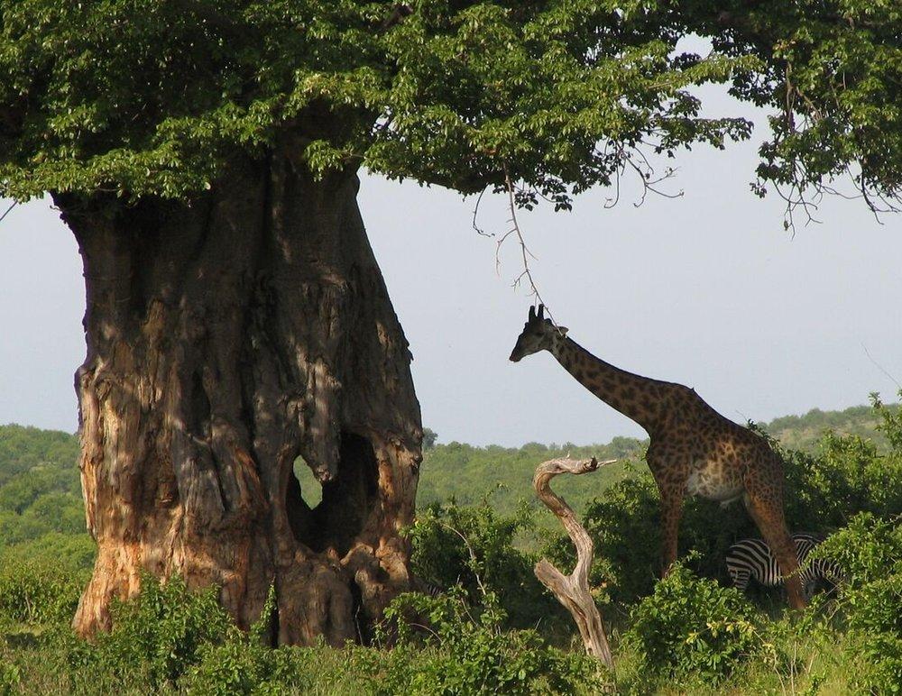 Giraffe under tree (2).jpg