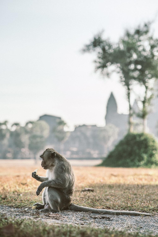Cambodia -964 monkey.jpg