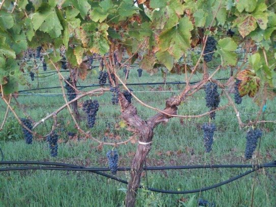 Syrah clusters on the vine. Picture courtesy of Nichole Dishman.