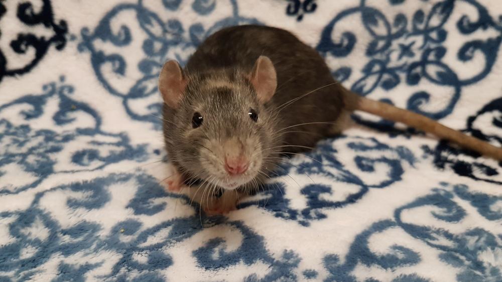 black marble rat