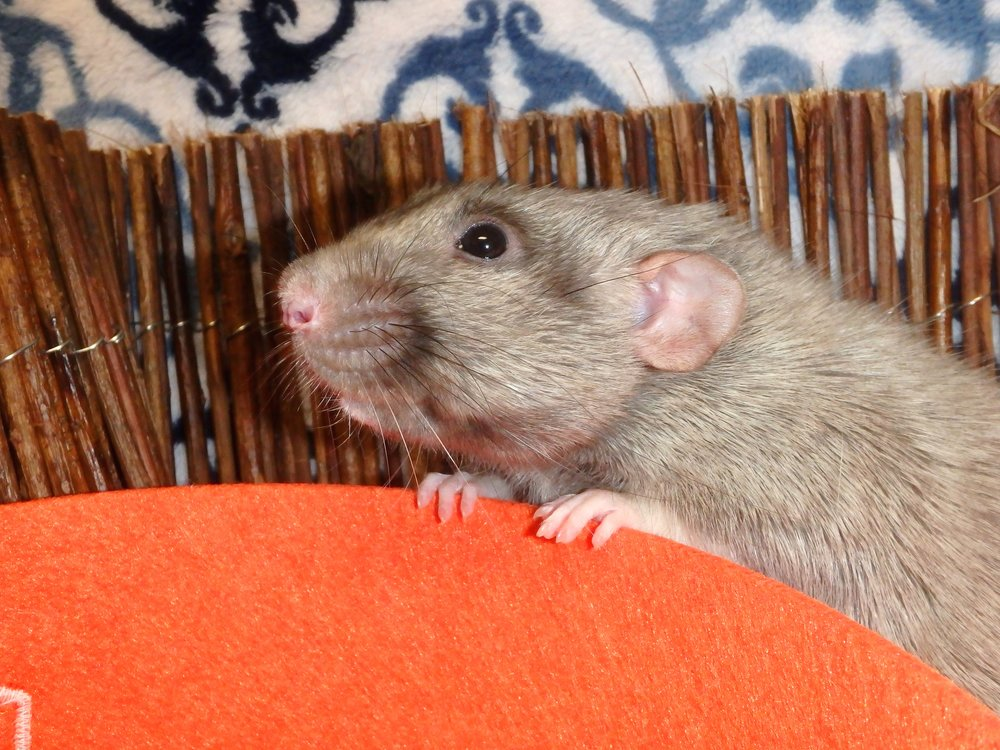 Male silvermane dumbo rat