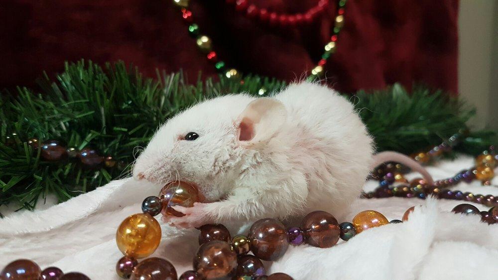 Yeti Snowden-Levitt - black eyed white dumbo rex rat