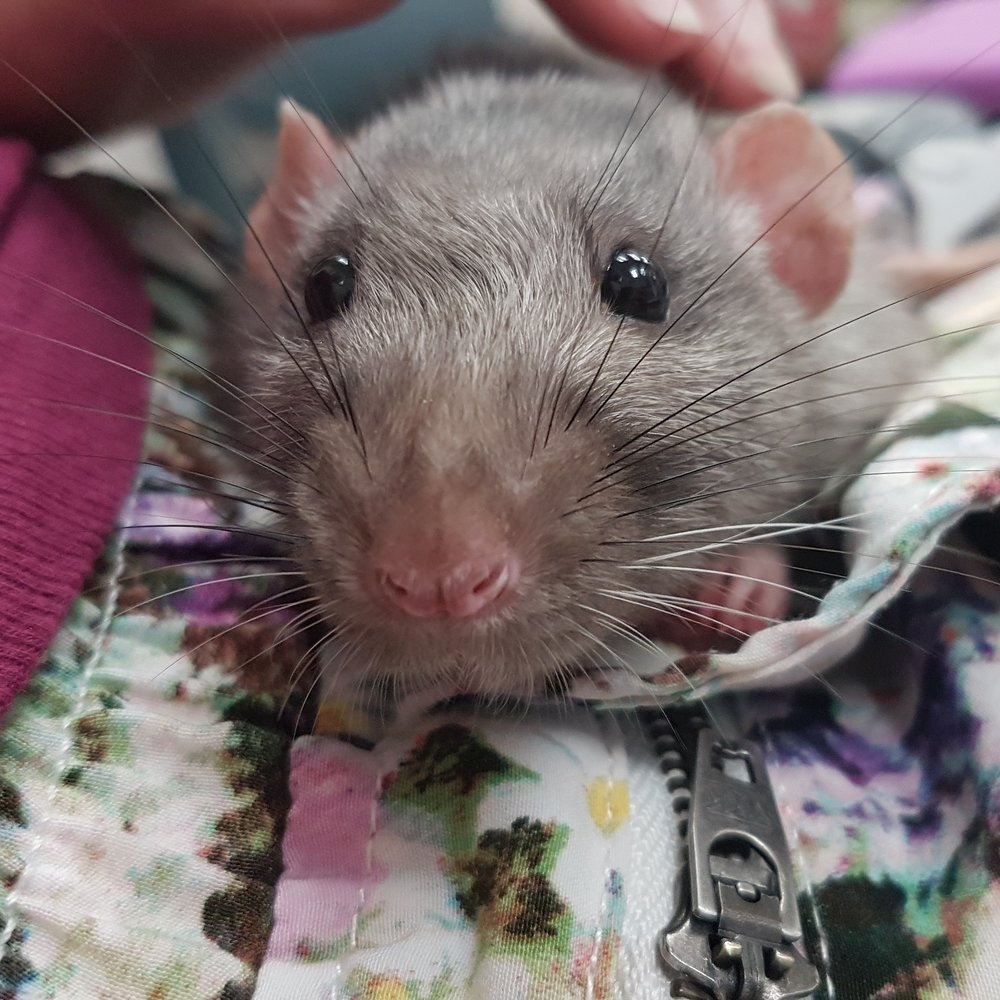 Older silvermane dumbo rat