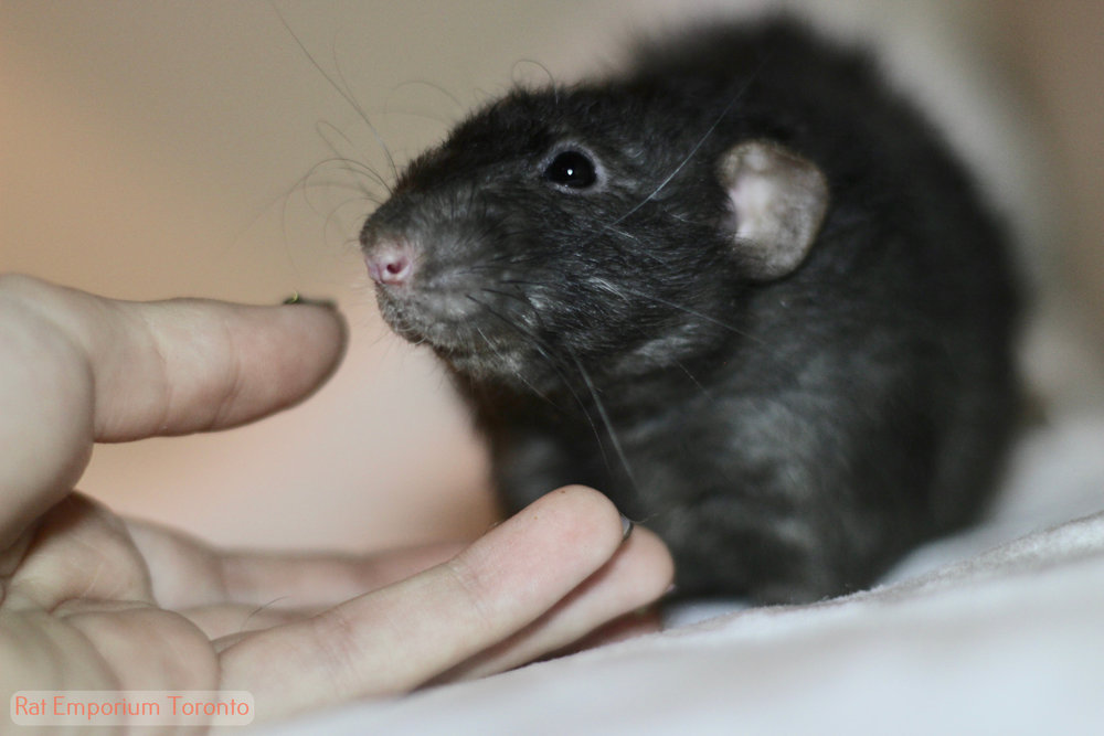 black dumbo rex rat