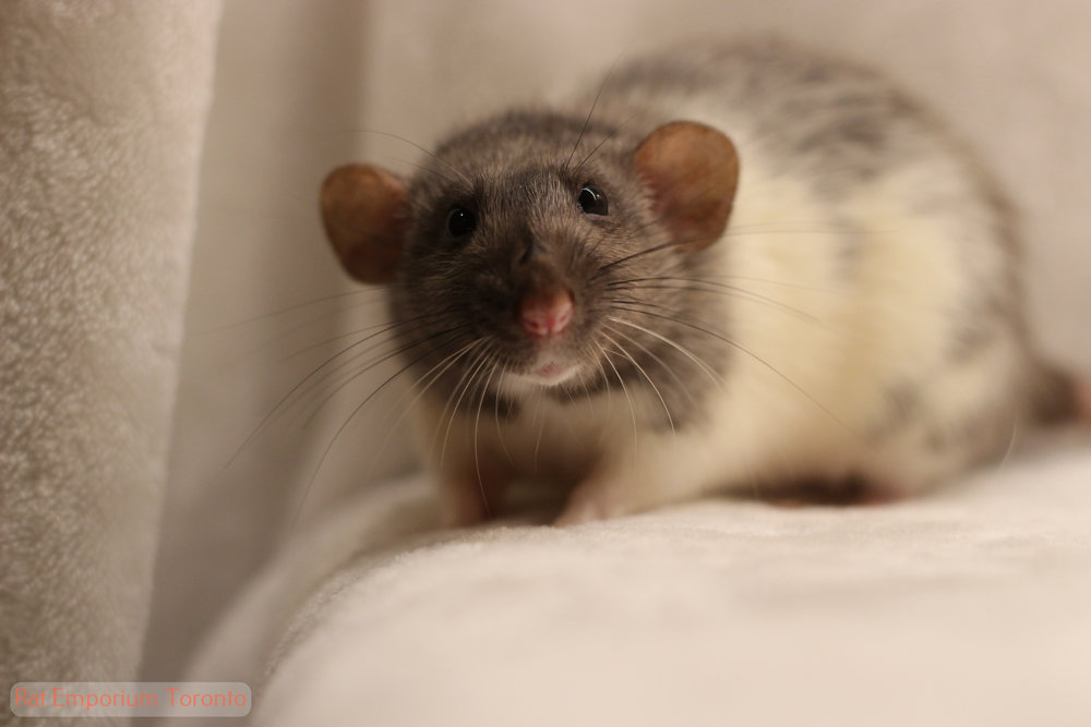 Alleria - black silvermane dumbo variegated rat