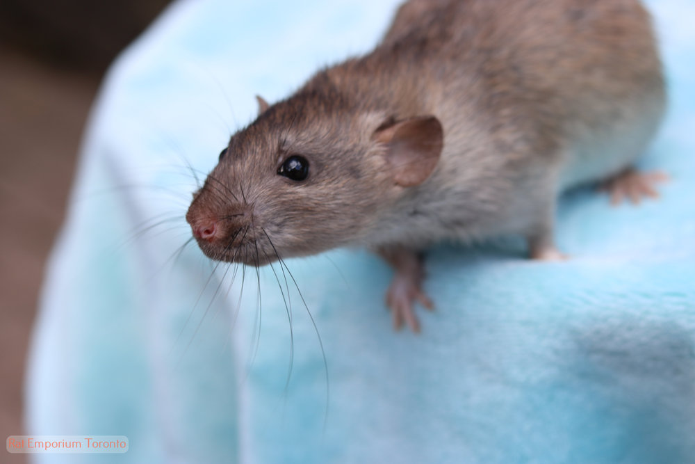 silvermane agouti dumbo rat