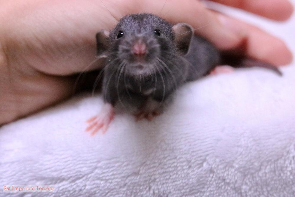Adopt pet rats Toronto