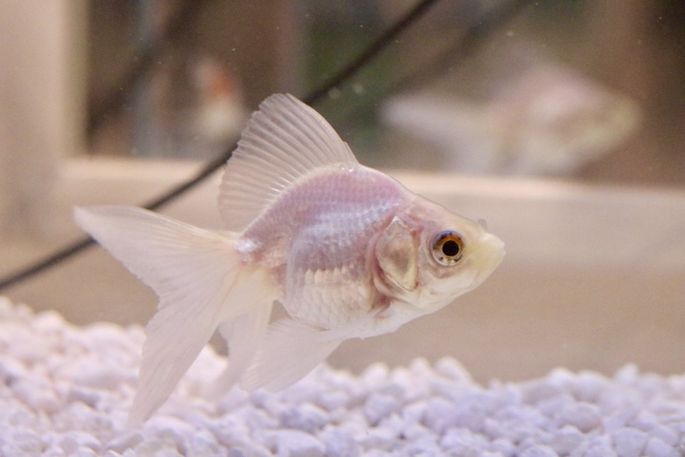 This boy here is the first all white goldfish that I have ever seen. He has speckles of colours in his eyes that make him absolutely gorgeous! I am so excited to get to know him!