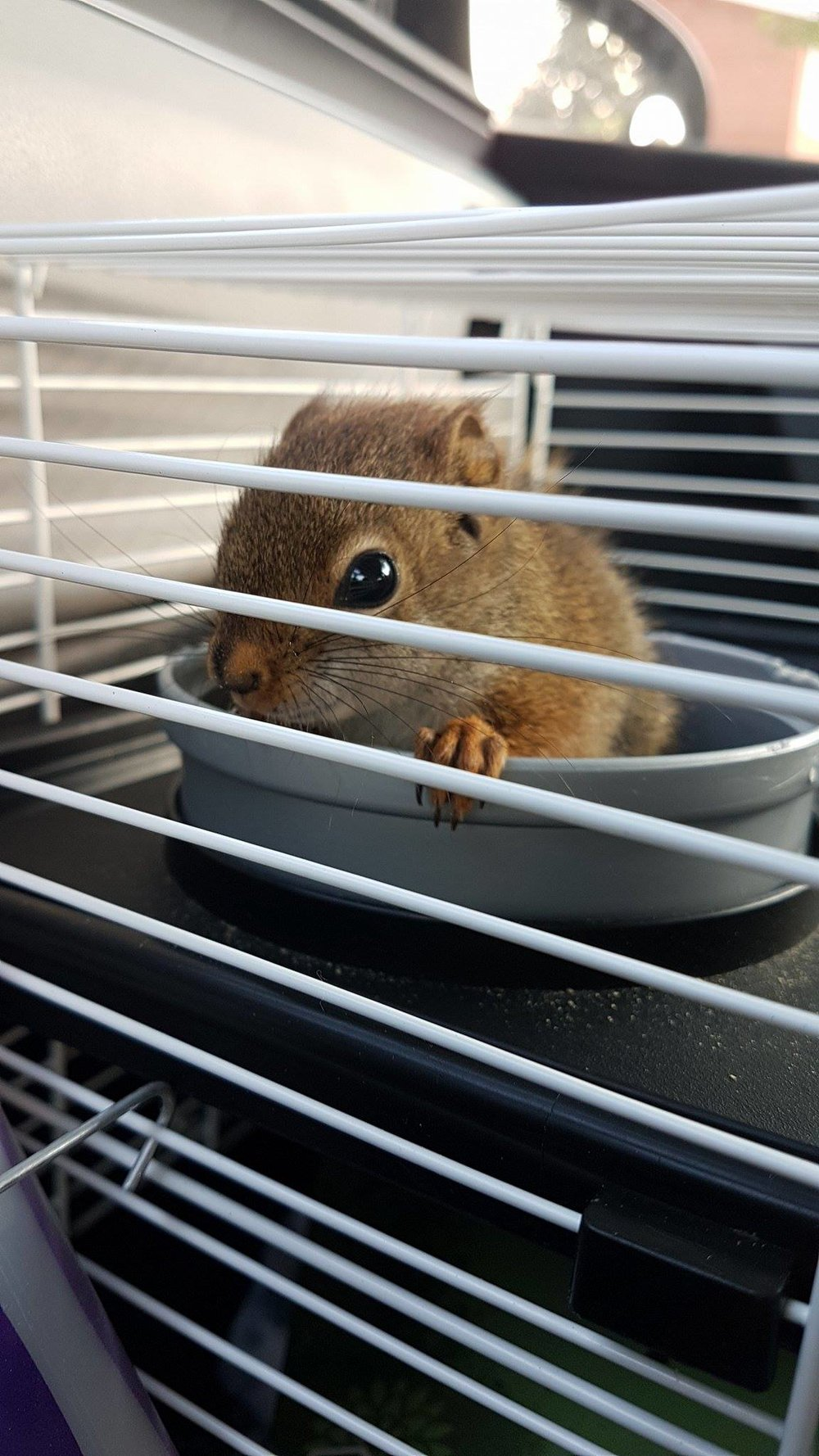 This is the little baby that we rescued. Hopefully soon enough he will be in living with the other red squirrels there! <3
