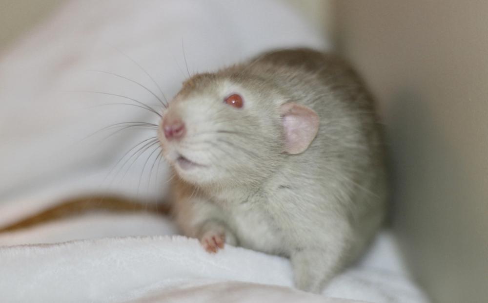 mink marten dumbo rat