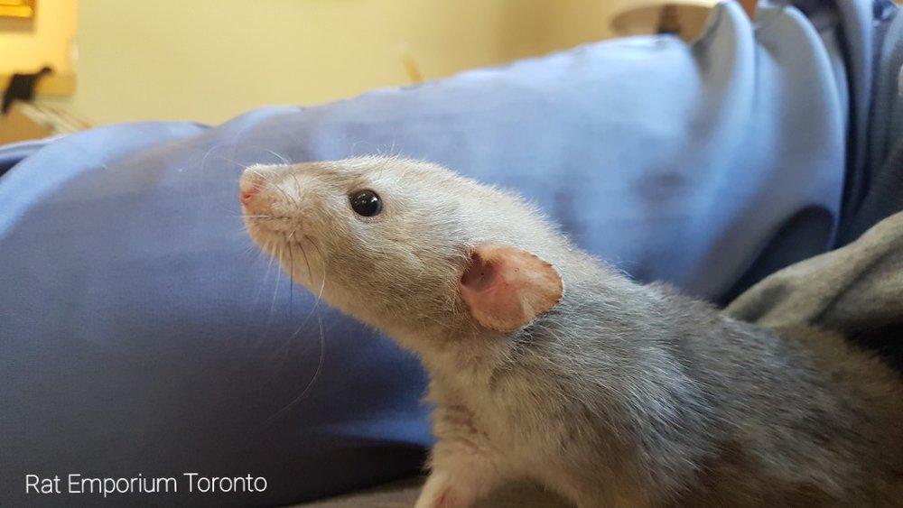 black eyed marten dumbo velveteen rat, Daze, from the Rat Emporium Toronto - a Toronto based rat breeder.