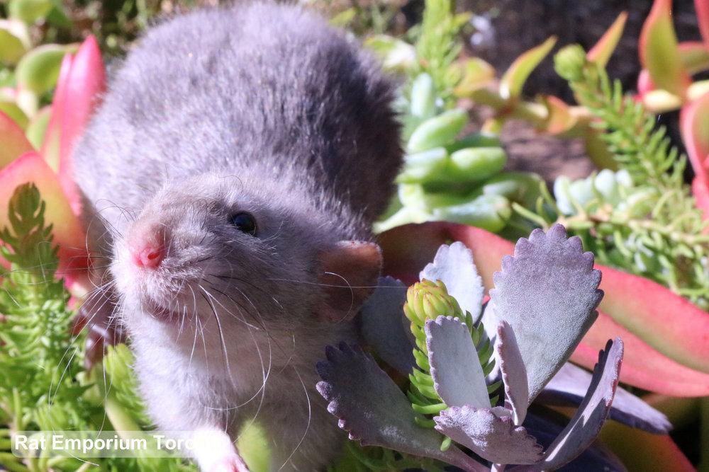black eyed marten dumbo velveteen rat - bred at Rat Emporium Toronto - a Toronto based rat breeder