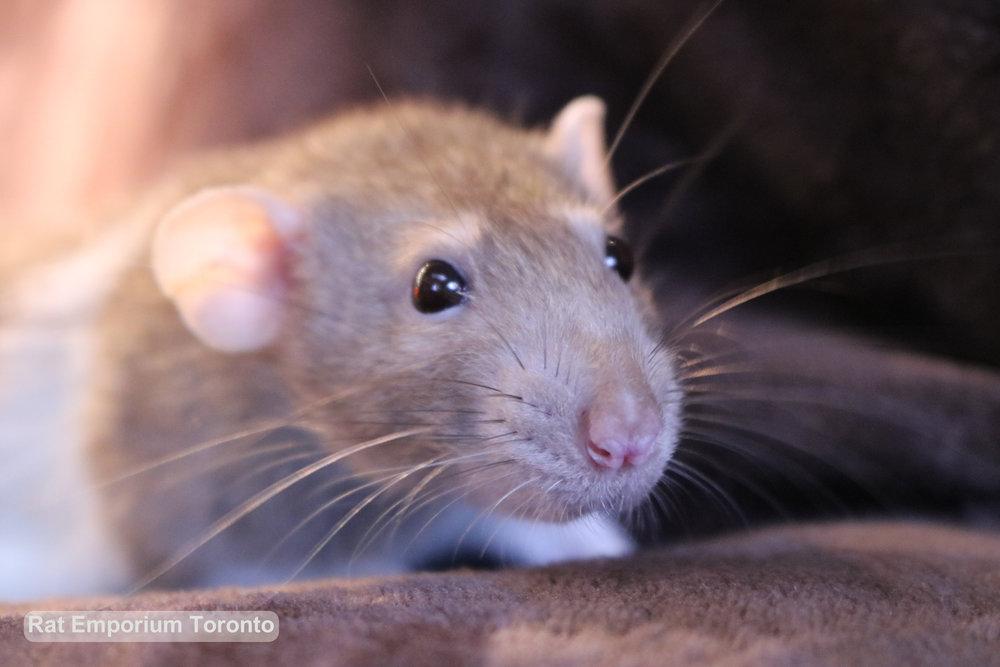cinnamon dumbo variegated rat - toronto rats- rat emporium toronto - rat breeder