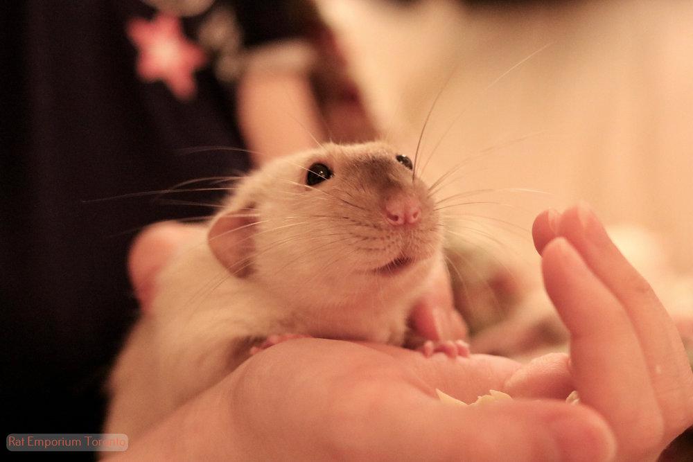 black eyed siamese dumbo male rat - born and bred at Rat Emporium Toronto - adopt pet rats Toronto, Ontario, Canada - Toronto rats - Rats Toronto overcoming rat problems and stigma with cute pet rats