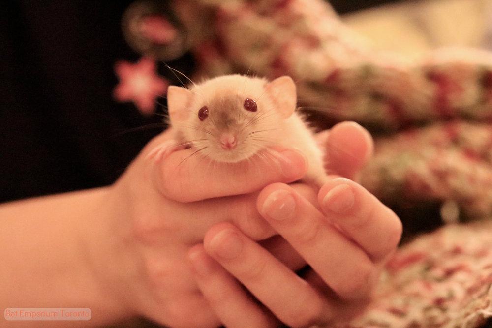 red eyed siamese dumbo dwarf rat - born at the Rat Emporium Toronto - adopt pet rats Toronto, Ontario, Canada - Toronto rats - rat breederovercoming rat problems and stigma with cute pet rats
