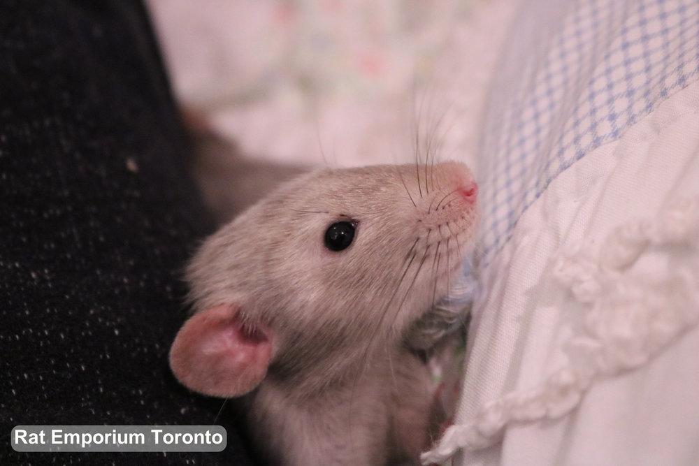 black eyed marten dumbo rat - born at Rat Emporium Toronto - adopt pet rats Toronto, Ontario Canada - rat breeder - Toronto rats - overcoming rat problems and stigma with cute pet rats
