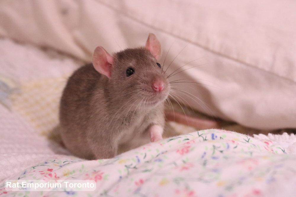 cinnamon top eared rat  - born at Rat Emporium Toronto - adopt pet rats Toronto, Ontario Canada - rat breeder - Toronto rats - overcoming rat problems and stigma with cute pet rats