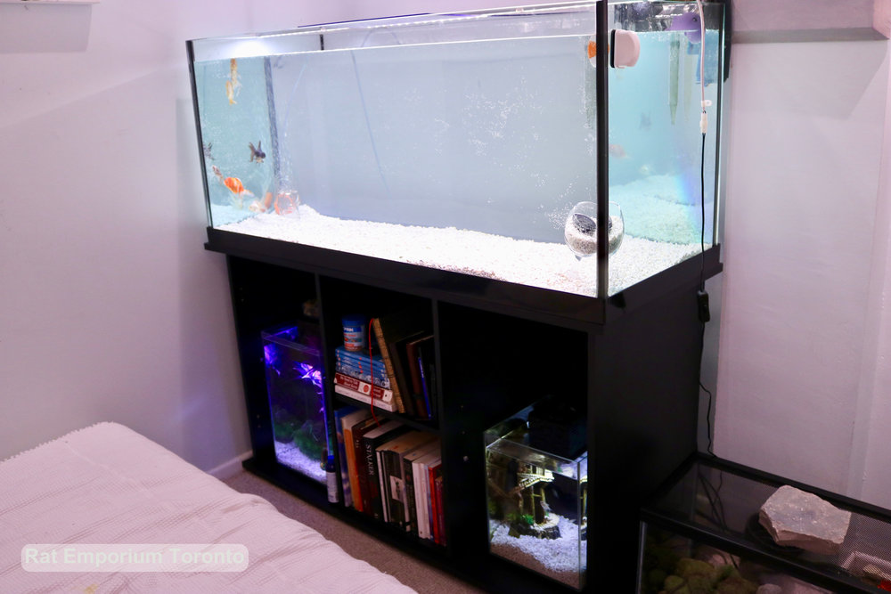 Goldfish, betta fish and tetra aquariums - aquarium and tank set up - interior design