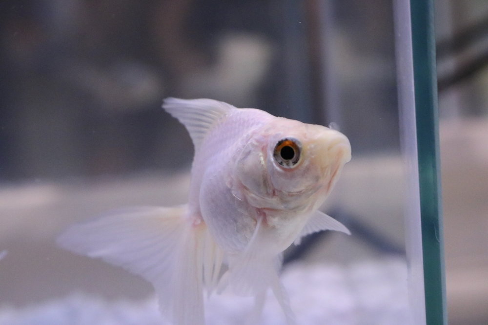 Abbi - white ryukin goldfish - raised at the Rat Emporium Toronto - pet goldfish
