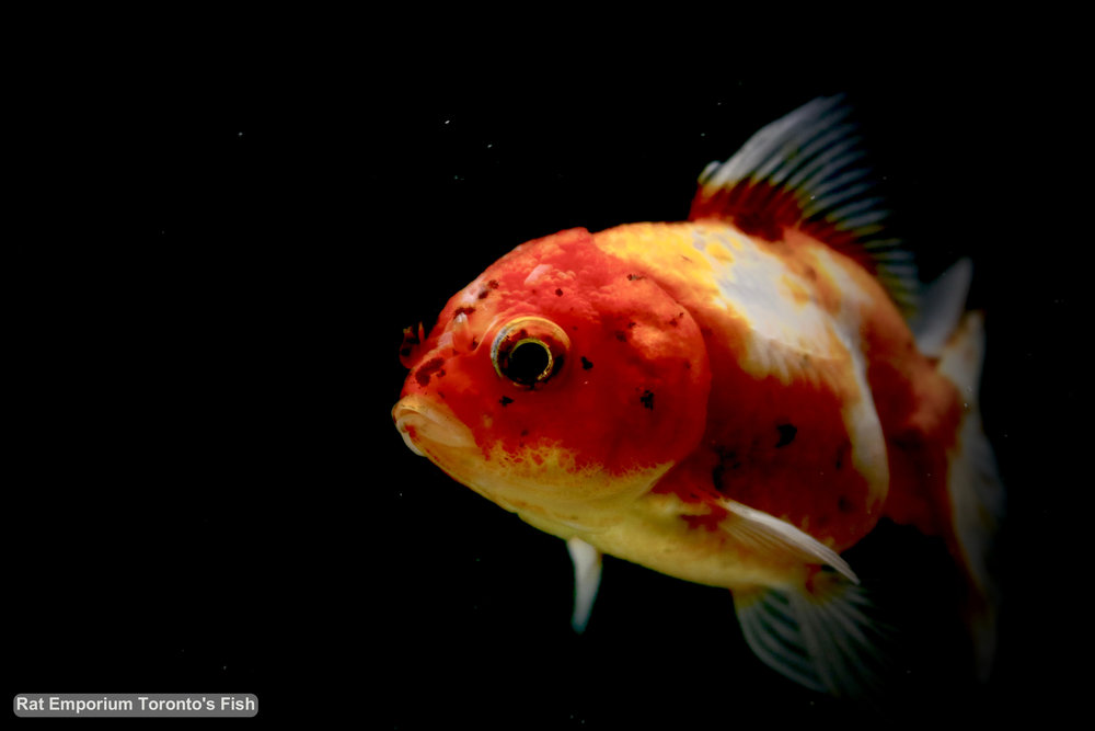 Mikey - red tri-colour oranda goldfish - raised at the Rat Emporium Toronto - pet goldfish