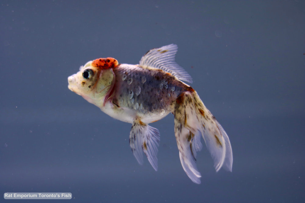 Emily - white tri-colour oranda goldfish - raised at the Rat Emporium Toronto - pet goldfish