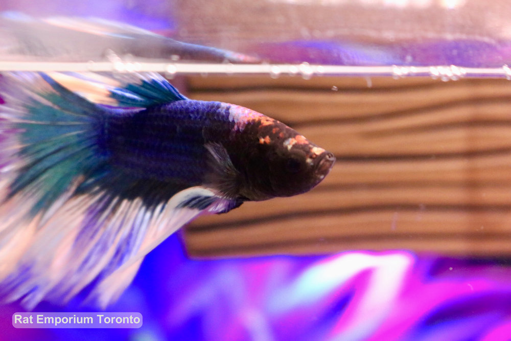 Caligula - tri-colour halfmoon betta - raised at the Rat Emporium Toronto - pet betta fish