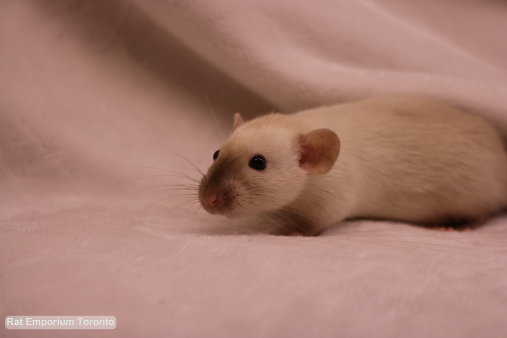 RET02812 - female BE siamese dumbo, unmarked