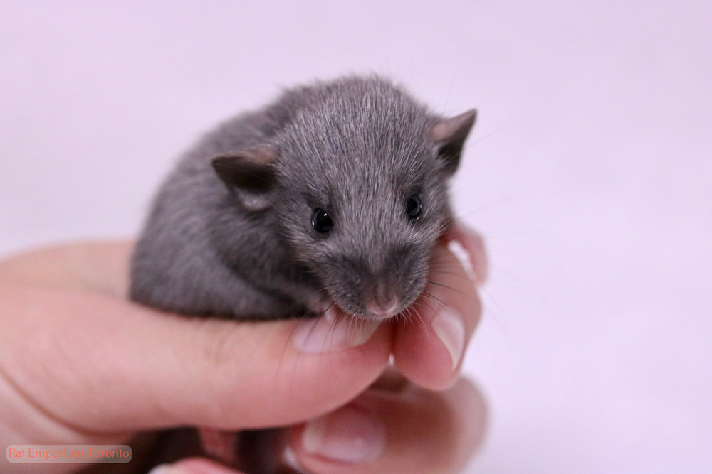 silvermane dumbo rat