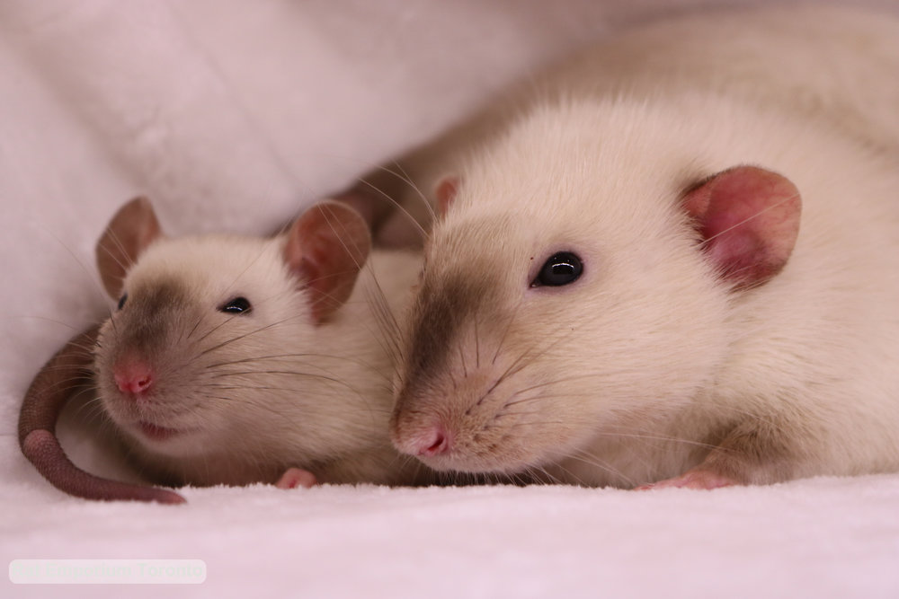 Siamese dumbo rat and top eared siamese rat - born and raised at the Rat Emporium Toronto - rat breeder Toronto - adopt pet rats - learn about rats