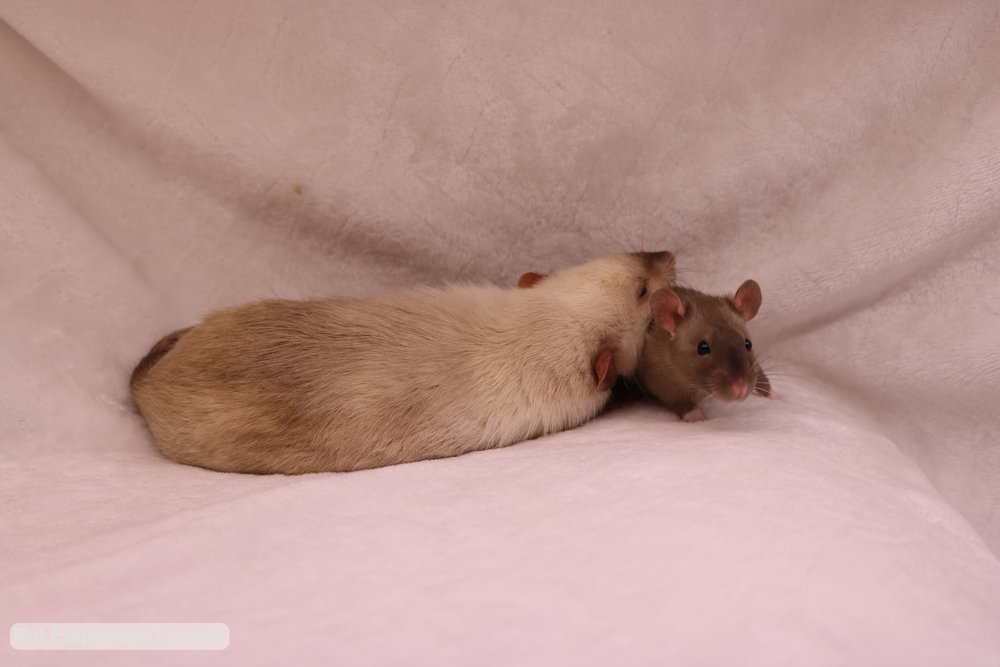 Siamese dumbo rat and top eared sable rat - black eyed siamese and black eyed sable rat - born and raised at the Rat Emporium Toronto - rat breeder Toronto - adopt pet rats - learn about rats