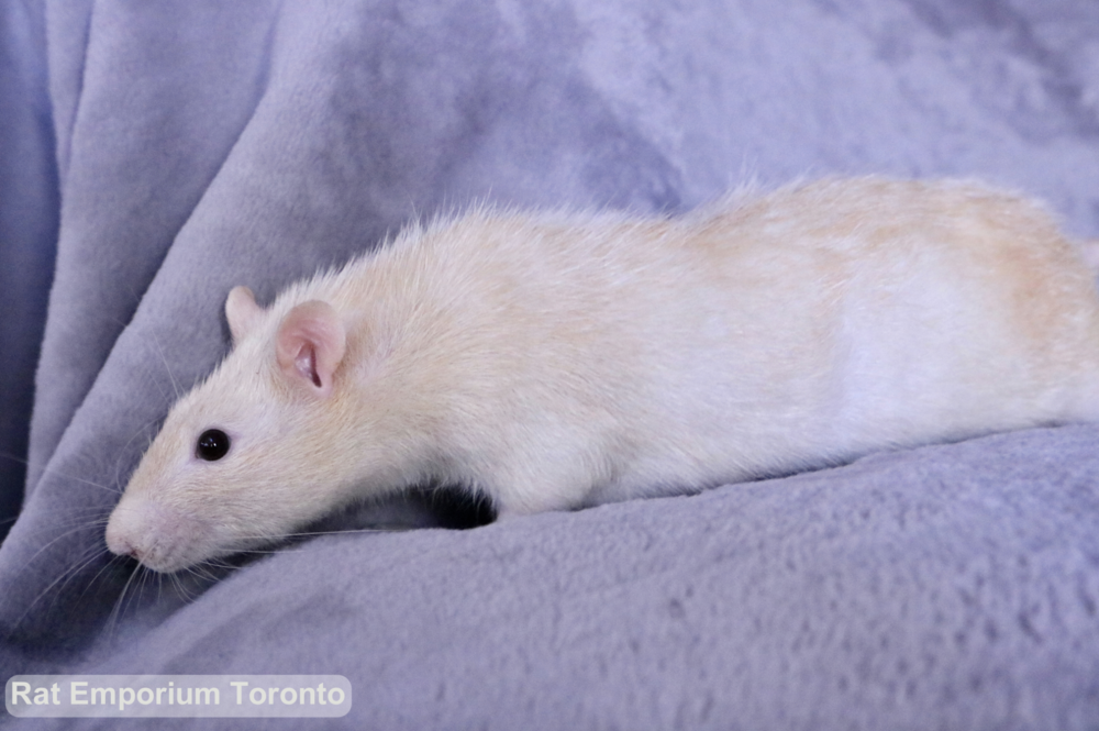Adopt pet rats Toronto - born and raised at the Rat Emporium - adopt pet rats Toronto