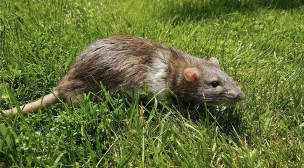 cinnamon variegated downunder rat - born and raised at the Rat Emporium Toronto - rat breeder - adopt pet rats Toronto Ontario