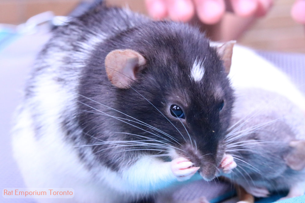 black and white variegated dumbo rat - born and raised at the Rat Emporium Toronto - rat breeder Toronto - adopt pet rats - learn about rats