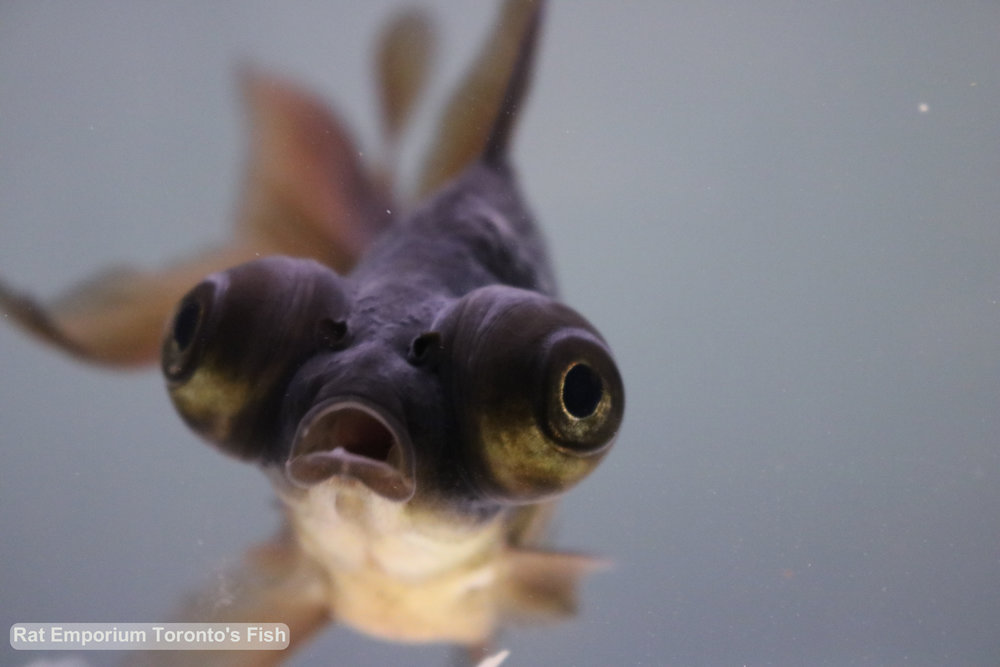 Marvin - black moore goldfish - raised at the Rat Emporium Toronto - pet goldfish