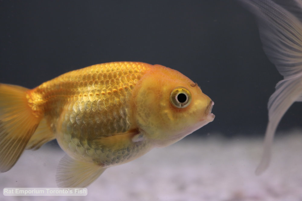Meme - orange ranchu goldfish - raised at the Rat Emporium Toronto - pet goldfish