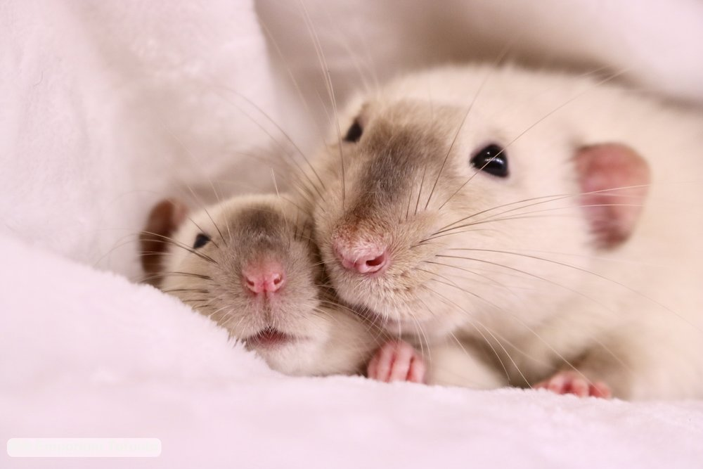 bla eyed siamese dumbo rats - born and raised at Rat Emporium Toronto - Toronto rat breeder - adopt pet rats