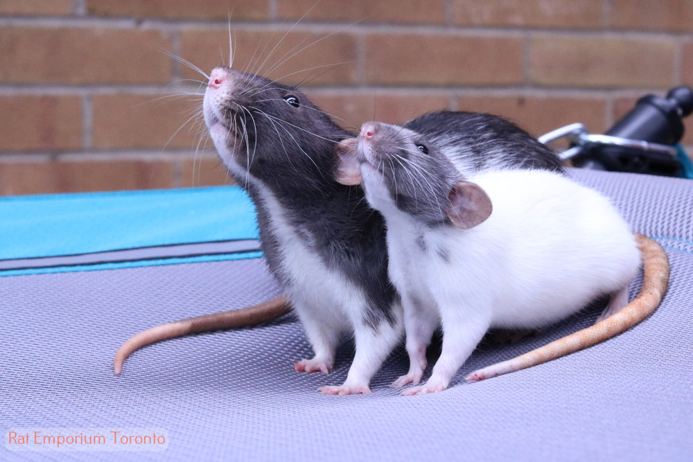 silvermane dumbo rat and black and white dumbo rat - born and raised at Rat Emporium Toronto - adopt pet rats - rat breeder
