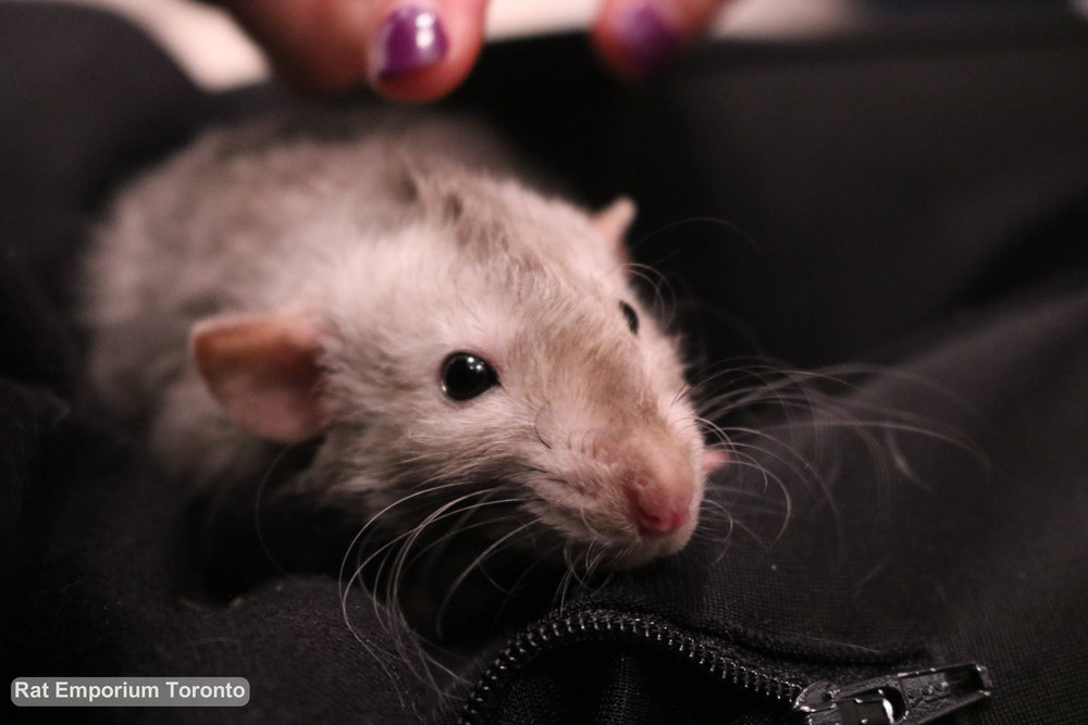 black eyed marten dumbo velveteen rat - Born and raised at Rat Emporium Toronto - adopt pet rats - rat breeder