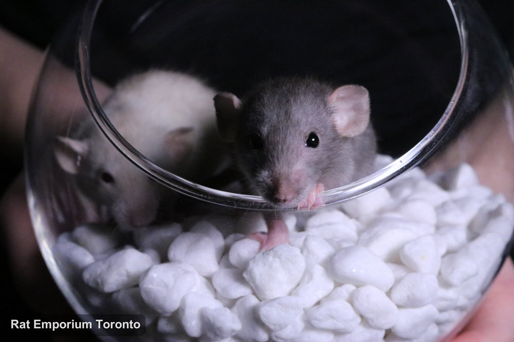 mink, siamese, black and agouti silvermane dumbo rats- born and raised at the Rat Emporium Toronto - pet rat breeder