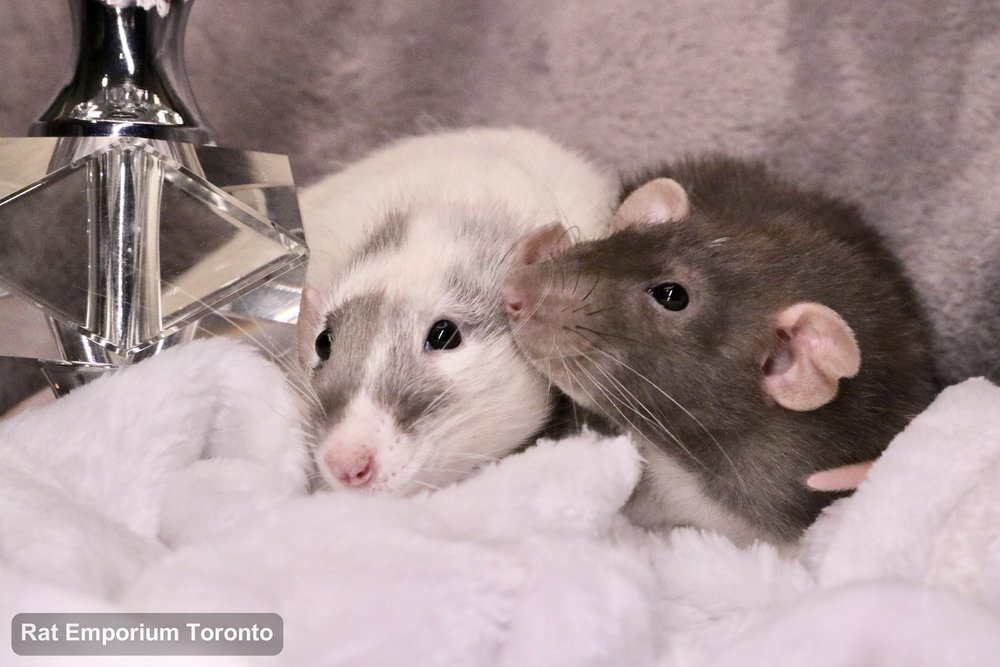 black masked silvermane dumbo and mink dumbo velveteen rats - born and raised at the Rat Emporium Toronto - pet rat breeder