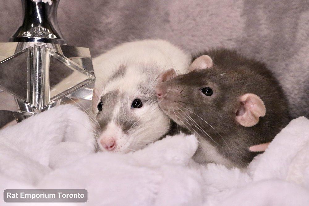 black masked silvermane dumbo and mink dumbo velveteen rats- born and raised at the Rat Emporium Toronto - pet rat breeder