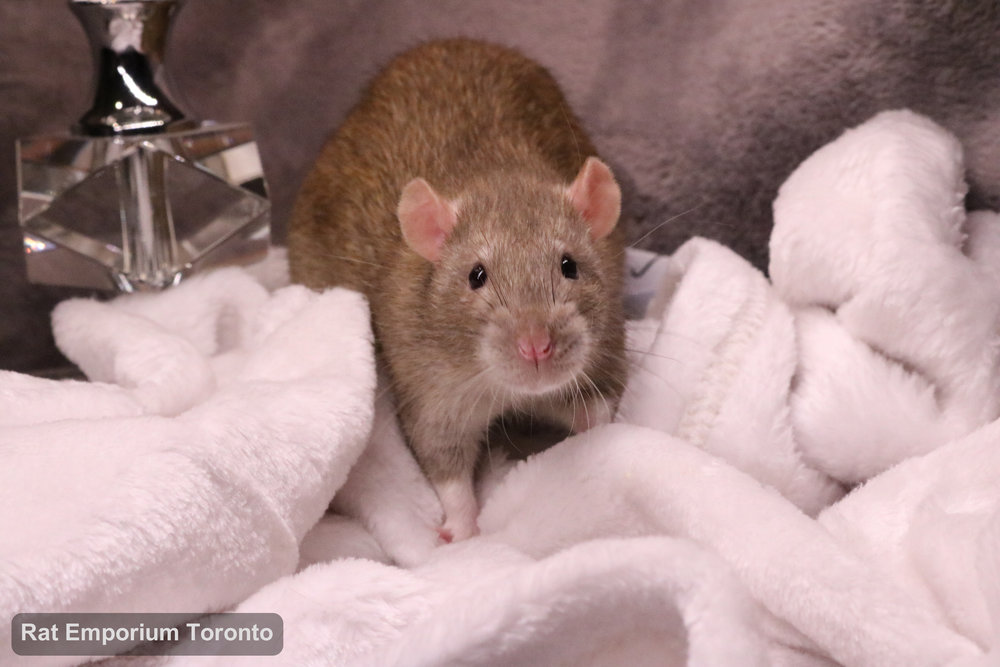 Crisp, my cinnamon top eared rat - born and raised at the Rat Emporium Toronto - adopt pet rats - rat breeder